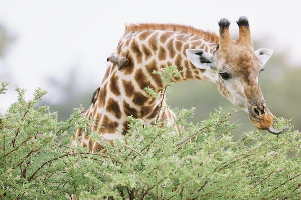 【数字は踊る】コアラもキリンも……絶滅危惧種が増加