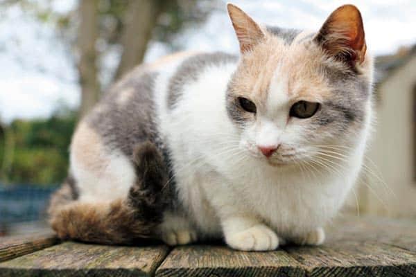 人気急上昇中の猫雑誌「猫ぐらし」が教える三毛猫の秘密