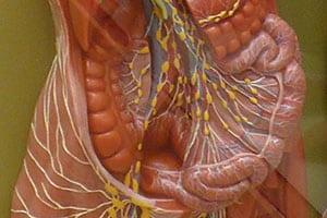 レオナルド・ダ・ヴィンチも驚愕「人体の新しい臓器」が発見