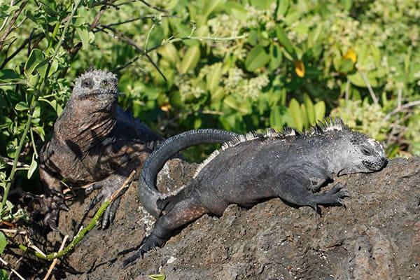 世界遺産ガラパゴスに行ったらそこらじゅう「イグアナ」