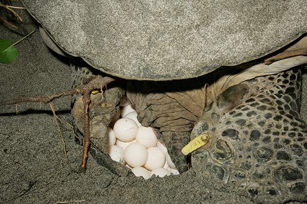 世界遺産「小笠原」でウミガメ料理を食ってみた