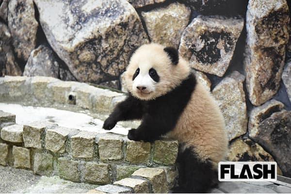 世界がビックリした和歌山の「パンダ絶倫繁殖」の秘密