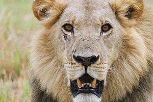 ライオンが金持ちに殺される「ハンティング」裏事情
