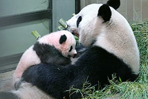 ジャイアントパンダの赤ちゃん「シャンシャン」180日成長日記