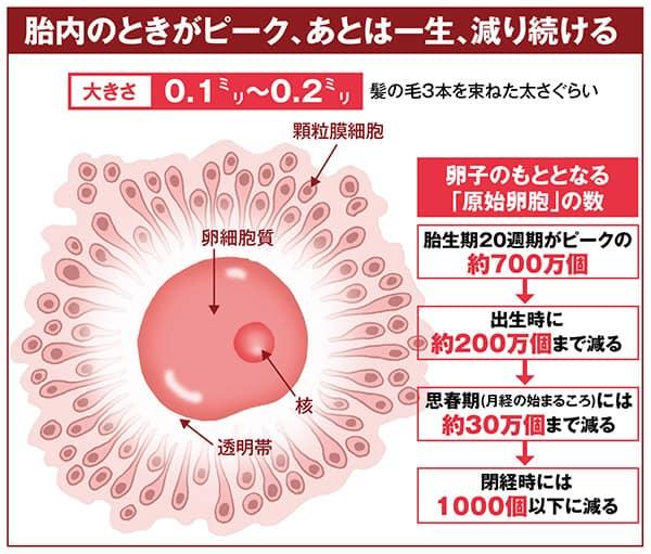 加齢で老化する「卵子」35歳で生まれたときの1〜2%にまで減少