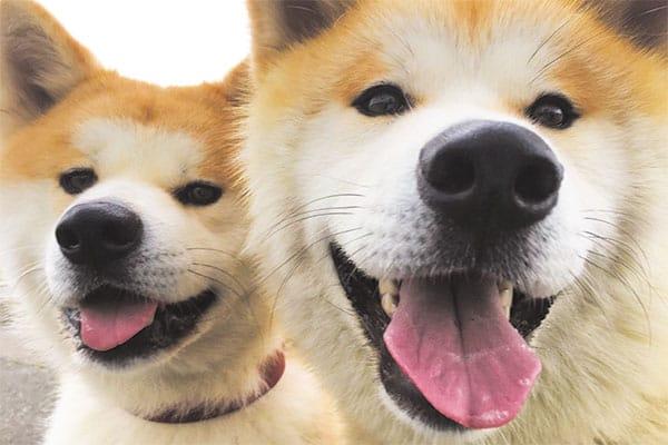 秋田犬ゴンとトラが振り返る2018年「世界が秋田を認めたね」