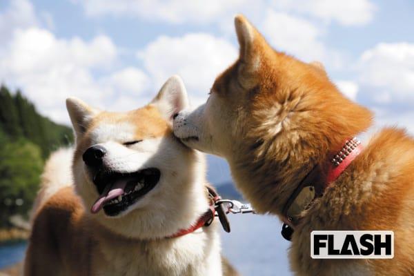 秋田犬ゴンとトラが振り返る2018年「注目はもふもふタイム」