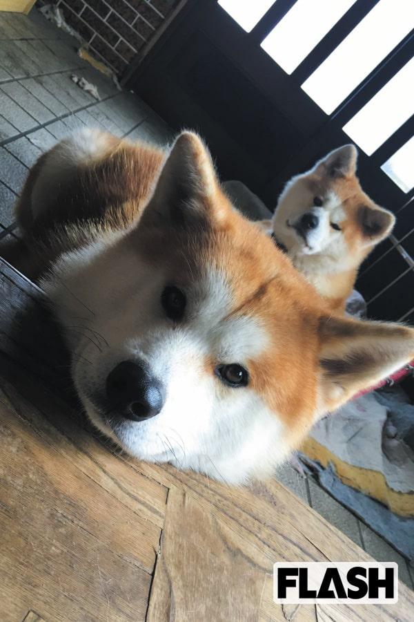 秋田犬ゴンとトラが振り返る2018年「芸能界も平成の終わり」