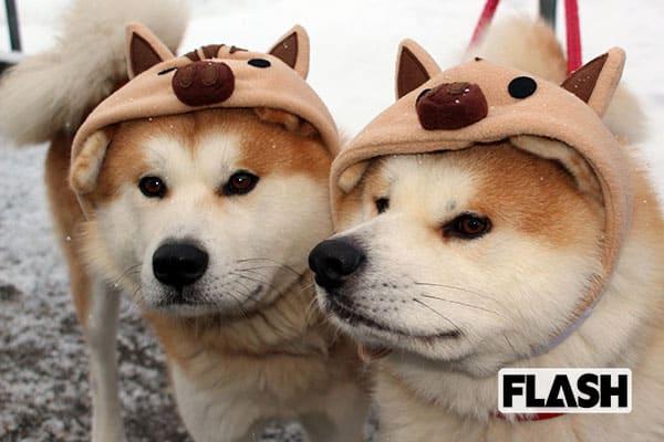 秋田犬ゴンとトラが「イノシシ」に変身して予測する2019年