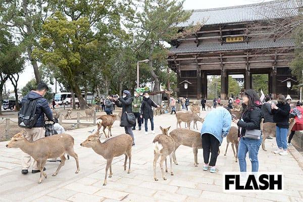 新型肺炎、中国人観光客激減で「奈良公園の鹿」が飢えている