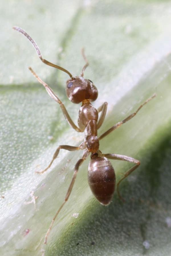 獰猛で、在来のアリを駆逐する。広島県廿日市市では、アルゼンチンアリ以外のアリを見かけることはほとんどない。 ・毒性度 ・危険度★★★★★ ・分布度★★★ (写真・国立環境研究所)