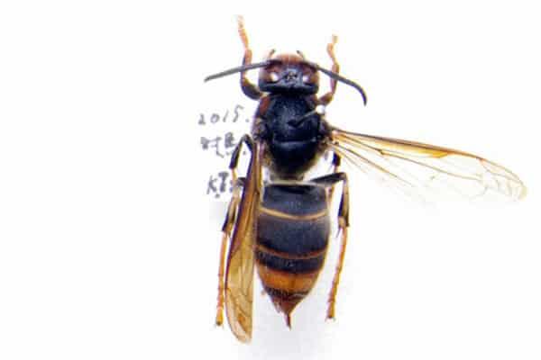 働きバチの体長は平均20mm。巣を刺激された場合、執拗に追いかけてくる。海外では刺傷による死者が出ている。 ・毒性度★★★★ ・危険度★★★★ ・分布度★★★★ (写真・国立環境研究所)