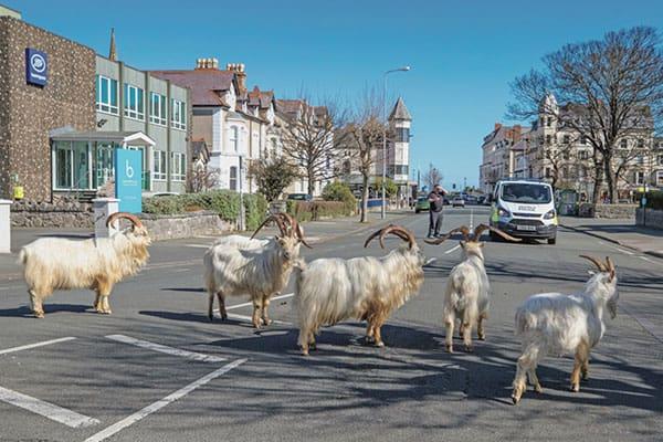 ロックダウンで人間が消えた街に…「野生動物」現れる