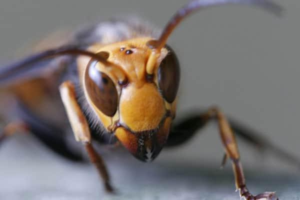 新型コロナに続き「殺人バチ」上陸で…アメリカSNSが大騒動