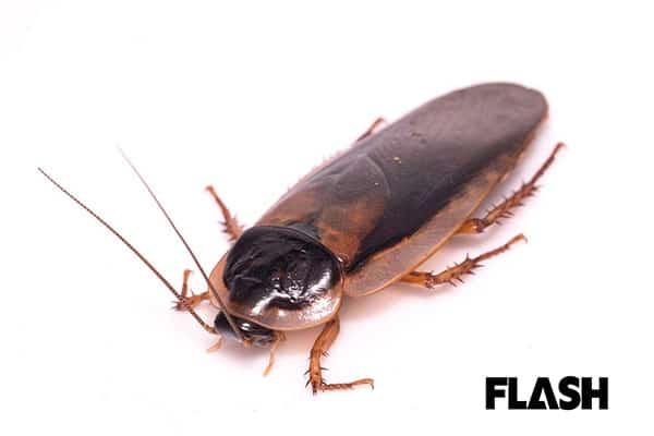 昆虫食ブーム!「ゴキブリ」を食べてみたら川エビの味がした