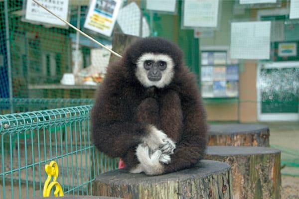 あつまれ!「2021年スターアニマル」福知山市動物園(京都)のシロテテナガザル