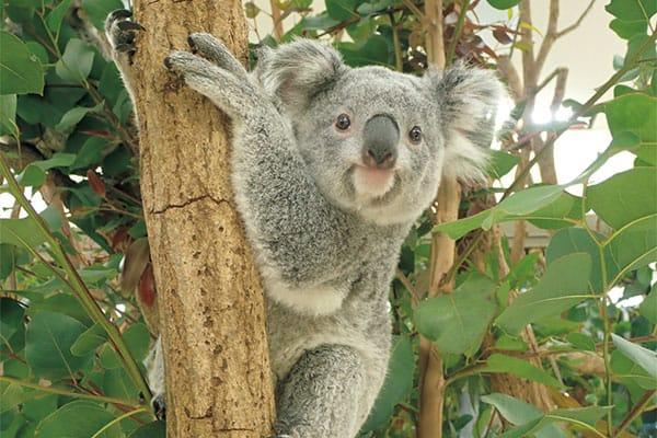 あつまれ!「2021年スターアニマル」埼玉県こども動物自然公園のコアラ