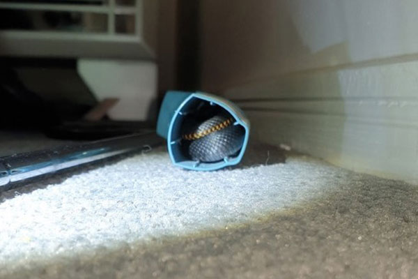 洗濯物から突如現れた「毒ヘビ」意外な場所で発見される