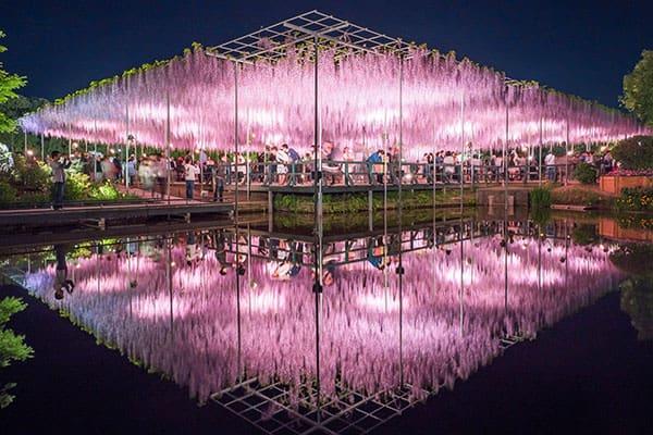女子アナ横井弘海の「エンタメ時間」満開の藤の花…あしかがフラワーパーク日暮れの妖艶さに驚く