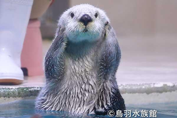 """ラッコが日本で4頭だけに…「水族館の人気者」が日本で""""絶滅寸前"""""""