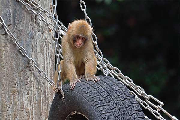 【頭の体操】さるマネが得意な猿、どうしてもマネできないことは