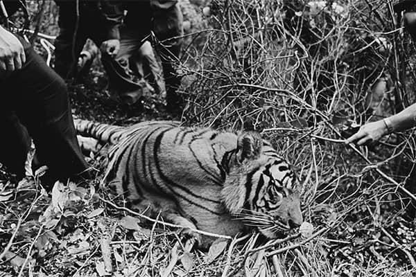 逃げ出した3頭のトラに住民戦慄…はたして個人でトラは飼えるのか/8月3日の話